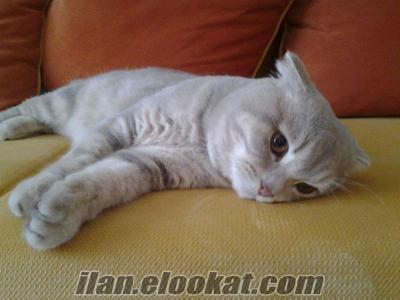 çiftleştirmek için dişi british shorthair cinsi kedi arıyorum istanbul