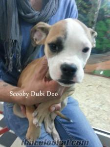 satılık amerikan bulldog köpeği