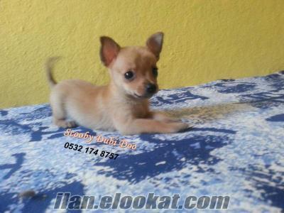 satılık chihuahua yavrusu Bursa da