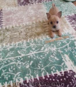 satılık chihuahua teacup köpeği