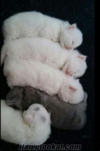 anne altından iran kedi yavruları