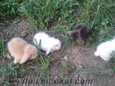 Hollanda Lop Tavşanı Yavru