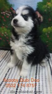 husky satılık yavru köpekler