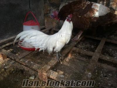 Sumatra Horoz ve tavuklar