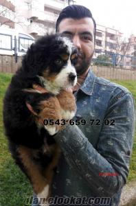 satılık bernese dağ köpeği yavruları
