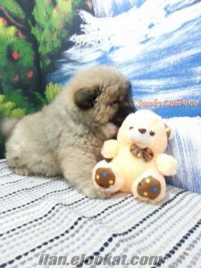 satılık chow chow çin aslanı yavrusu