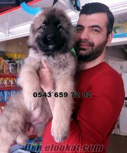 satılık kafkas çoban köpeği yavruları