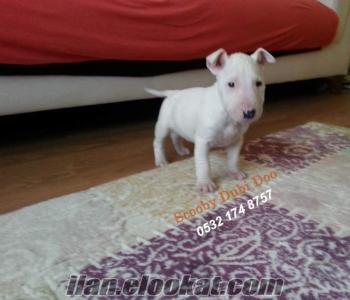 satılık bull terrier yavrular Bursa da