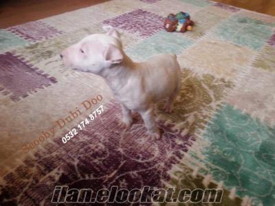 satılık bull terrier köpeği