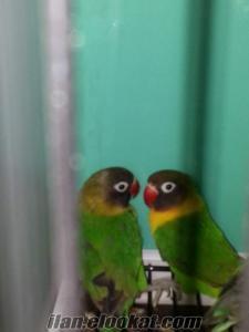 Başakşehir cennet papağan
