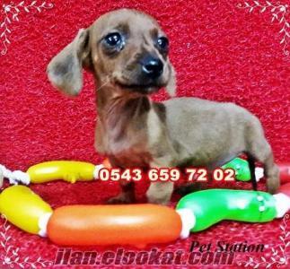 satılık dachshund (sosis köpek) yavruları