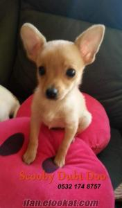 Teacup Chihuahua bebekler Bursada