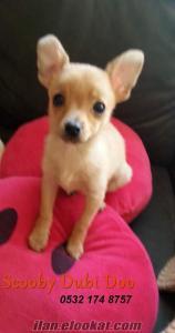 chihuahua satılık yavru köpek