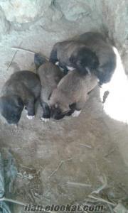satılık köpek yavrulari
