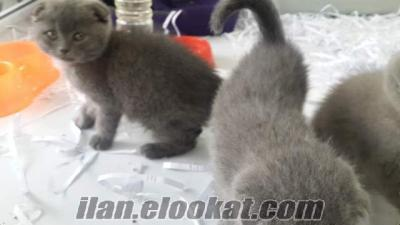 izmide scottish fold ve brittish shorthair yavruları