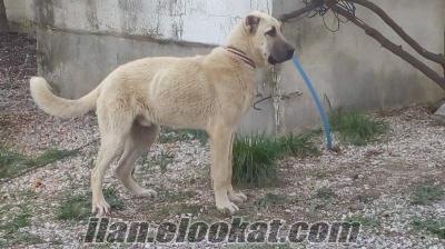 Fethiyede satılık kangal