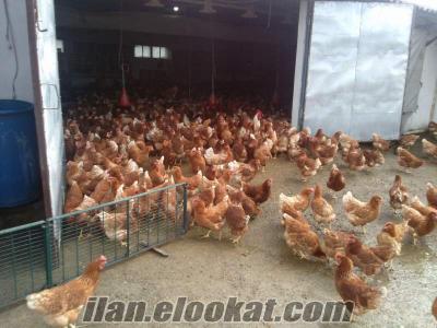 İstanbul Esenyurt köy yumurtası