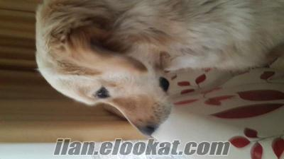 1 yalında Golden Retriever