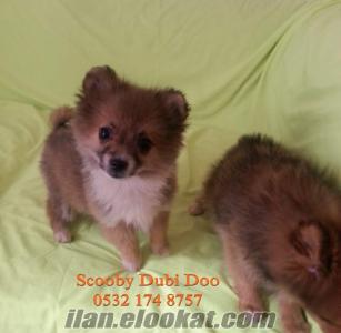 Pomeranian boo satılık yavrular