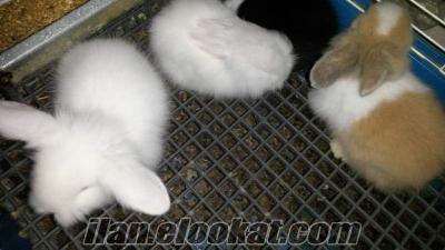 Hollanda Lop Tavşanlar mızı satıyorum
