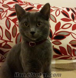 Mavi Rus Kedi