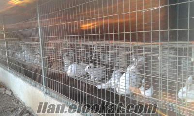 satılık yeni zellanda tavşanları
