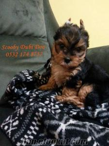 yorkshire terrier satılık dişi yavru