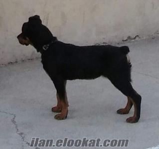 Satılık rottweiler yavrusu