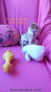 chihuahua satılık yavrular