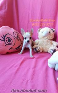 chihuahua satılık yavruları