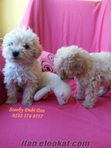 satılık poodle yavruları