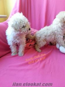 satılık poodle yavrular
