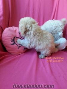 poodle satılık yavrular