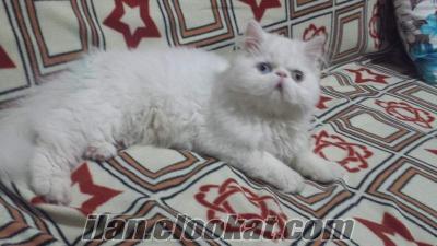 Karşıyaka iran kedisi