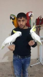 Evcil Macaw Ve Sülfür Kakadu Papağanlarımız