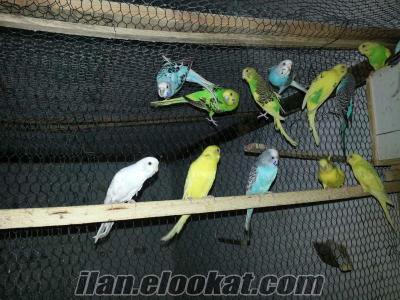 adanada yerli üretim muhabbet kuşları