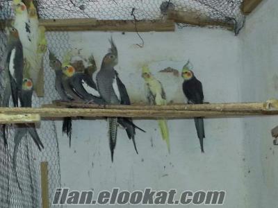 Adana kendi üretimimiz yerli sultan papağanlarımız satılıktır
