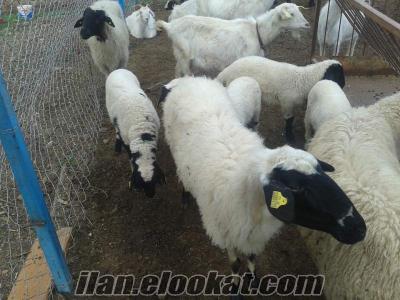Menderes 3 koyu 5 kuzu