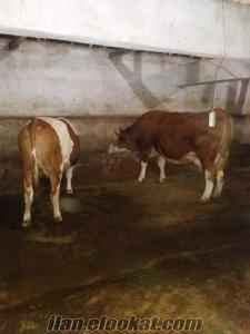 Malatyada satılık süt ırkı saf simental inekler