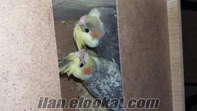 papağanlarım çift olan sultan