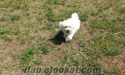 satılık maltese terrier yavru