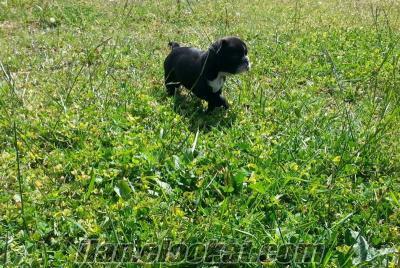 satılık french bulldog