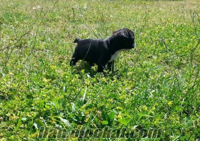 satılık french bulldog dişi yavrusu