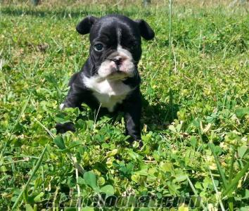 satılık french bulldog köpek yavrusu