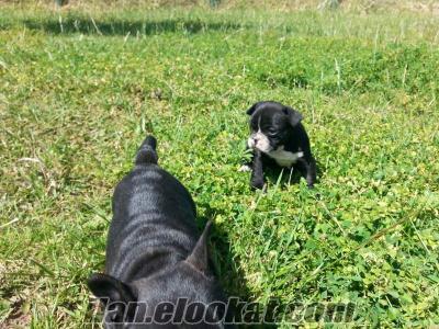 french bulldog satılık yavrusu