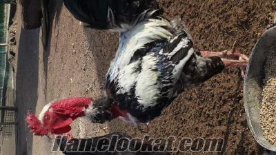 Astrolop, susex, yerli kül beyaz kel horozlar ve tavuk civciv toptan yada parake