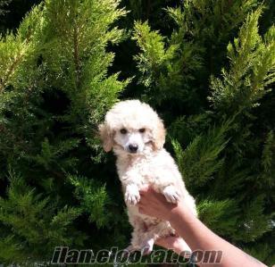 satılık poodle yavru