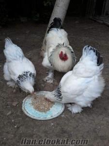 Kuluçkalık Yumurta