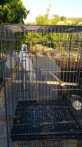 Ümitköy kakadu papaganı