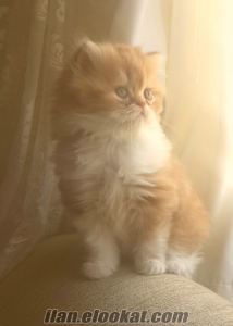 orijinal iran kedisi